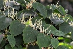 Does your driveway have Japanese Knotweed?